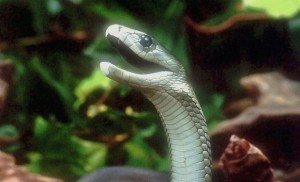Black mamba in defensive posture, photo taken by Bill Love, Blue Chameleon Ventures. Via WikiCommons.