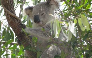 When koalas infected with the koala retrovirus reproduce, they pass the viral DNA along with their own to their offspring.