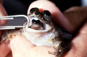 The now-extinct Gastric Brooding Frog gave birth through its mouth. Image: Mike Tyler / University of Adelaide