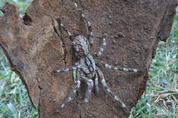 The newly discovered species of tarantula, a male Poecilotheria rajaei, with a 20 centimetre leg-span. Image: Ranil Nanayakkara / British Tarantula Society via WikiMedia Commons.
