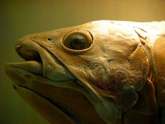 The head of a coelacanth, Natural History Museum (London). Scientists have sequenced the living fossil's genome, giving clues about the evolution of limbs. Image: Pascalou petit / WikiMedia Commons