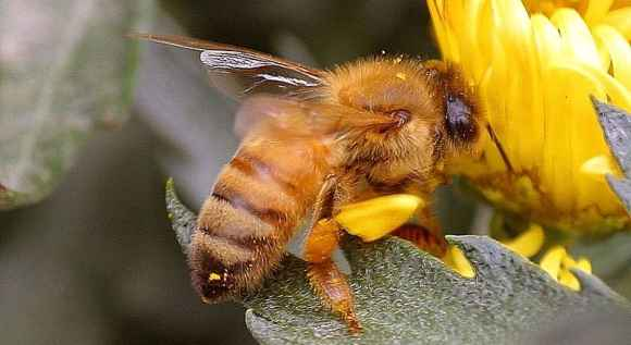 Last Winter in the US, almost one third of honeybee colonies died. The problem is complicated and very serious. Image: Jon Sullivan / WikiMedia Commons.