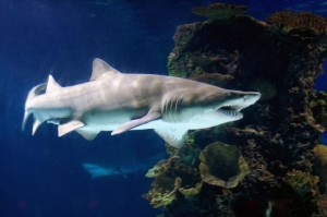 Sand tiger shark (Carcharias taurus) at the Newport Aquarium. Image: Jeff Kubina / WikiMedia Commons