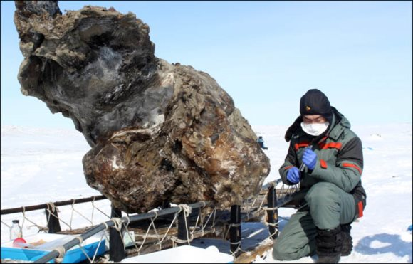 A Russian scientist claims to have found liquid blood from a well-preserved female woolly mammoth carcass. Photo: Semyon Grigoriev /