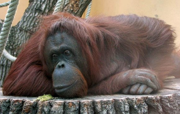 Orang Utan, Schloß Schönbrunn Zoo, Vienna, Austria A new study suggests chimpanzees and orangutans used 3-year-old memories to solve a problem. Image: Zyance / WikiMedia Commons