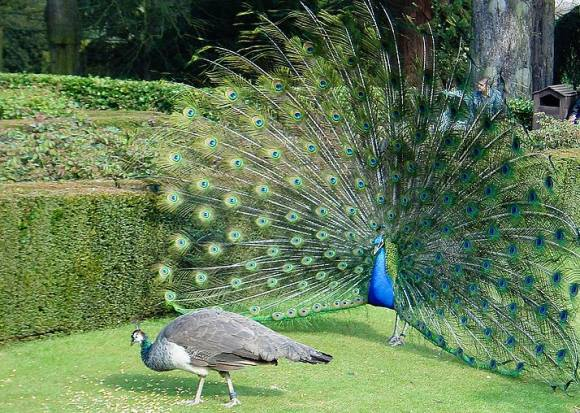 A peacock fans its tail to try and impress a peahen, but she's not interested. A new study investigated what does impress peahens, and it comes down to, well, size. Image: ToastyKen / WikiMedia Commons