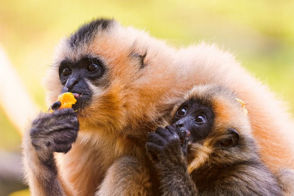 Mother and baby gibbons eating. A new study suggests mother gibbons teach their daughters to sing. Image: Tambako the Jaguar / Flickr