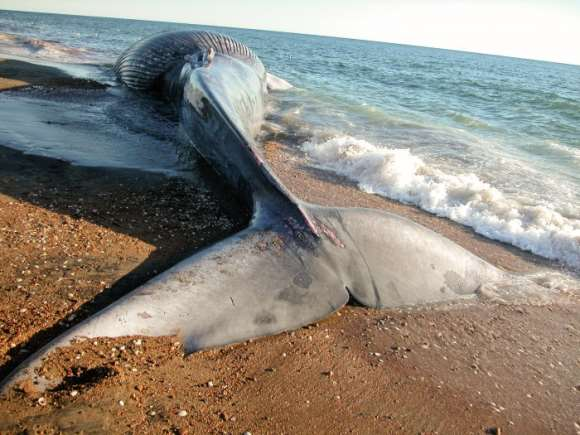 Blue whale stranded on a beach in the Gulf of St. Lawrence. Image: Claude Nozères / Canadian Register of Marine Species