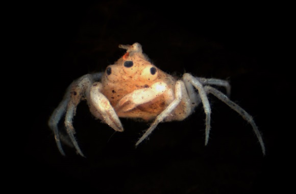 Blinky could be two crabs in one, or a deformed Snork. Image: Gerhard Scholtz, Peter K. L. Ng and Stephen Moore