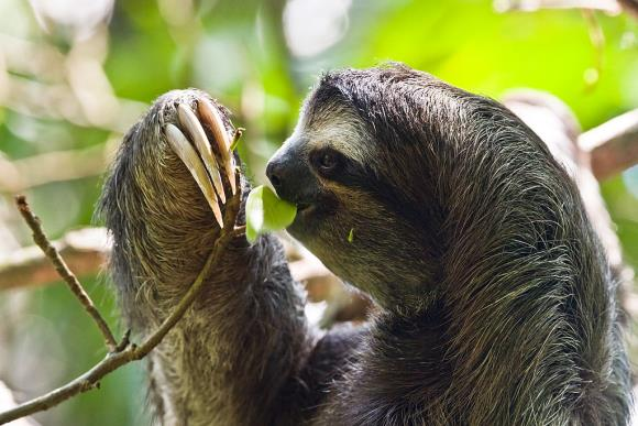 Three-toed-sloth, picture taken in the Cahuita National Park in the southeast of Costa Rica. Image: Christian Mehlführer / Wikimedia Commons